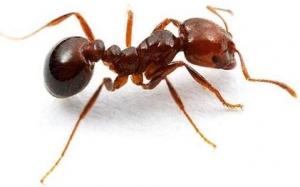 Απεντόμωση Μυρμήγκια